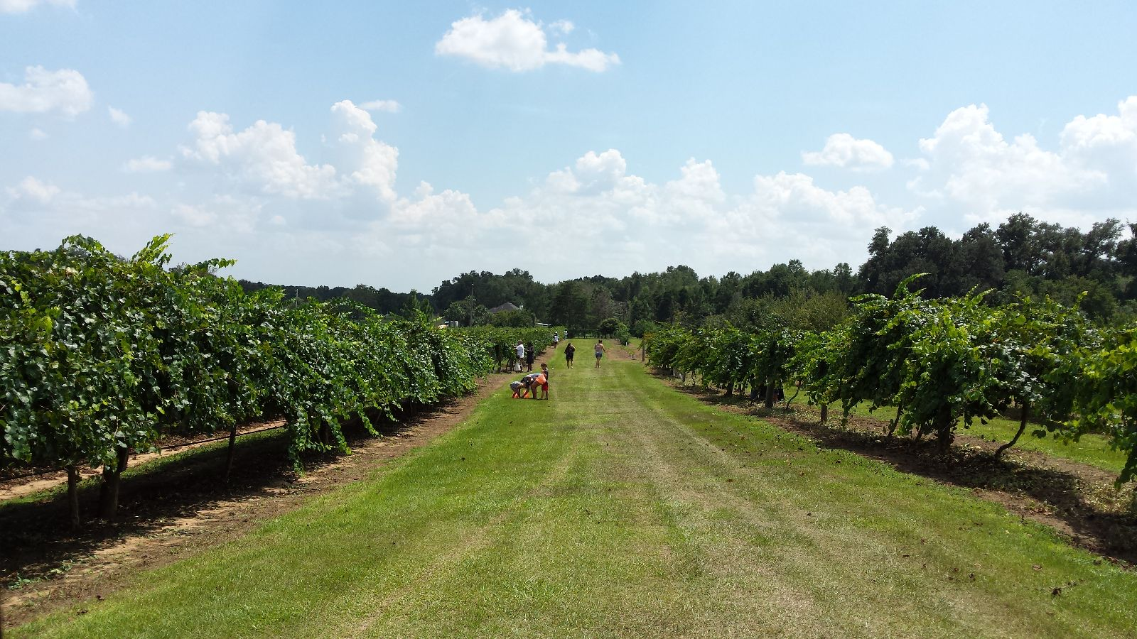 vit vineyard